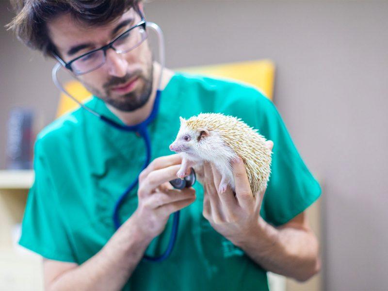 veterinario-exoticos-erizo